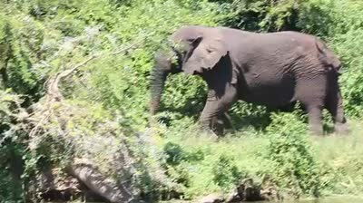 Elephant at Queen Elizabeth in 2010 filmed by Greg Taylor – Wi-Fi