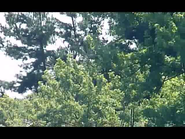 osprey in out trees 21Aug12