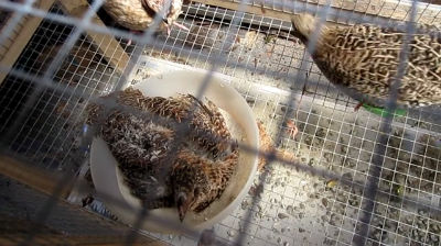 Japanese Quail Dust Bath
