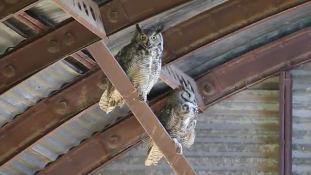 Great horned owls in storage building