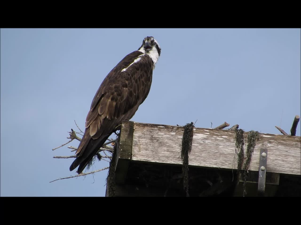 Mama Osprey calling for fish