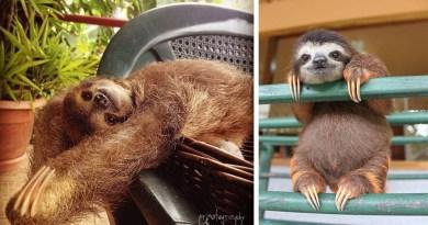 15 забавных фотографий с милыми ленивцами.