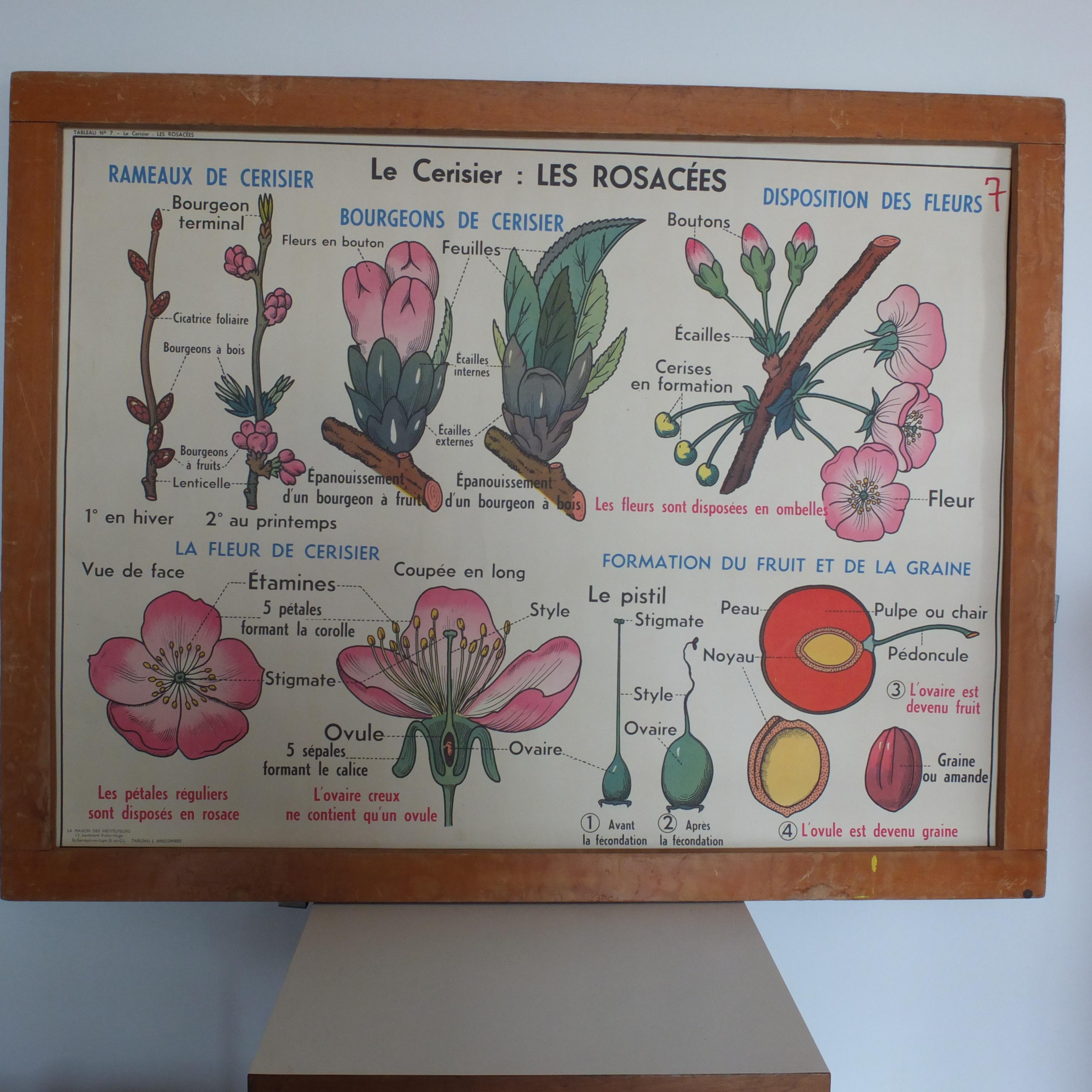 le cerisier les rosac es la carotte les ombellif res affiche scolaire vintage magic. Black Bedroom Furniture Sets. Home Design Ideas