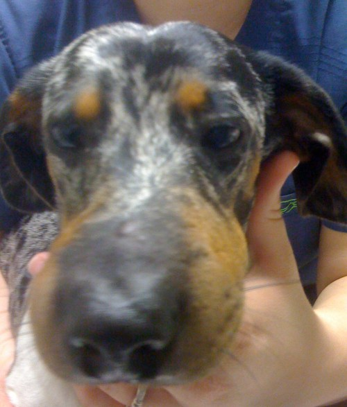 Medium Of Dog Eye Swollen