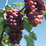 Las uvas aumentan la salud ocular