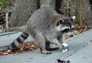 RaccoonEating