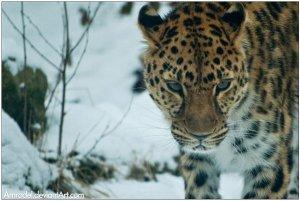 Amur_Leopard_by_amrodel