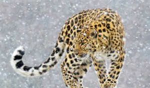 amur-leopard-in-snow