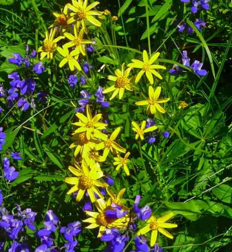 w_arnica-and-lupine