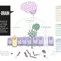 Bacteriën in de darm beïnvloeden hersenen en hart