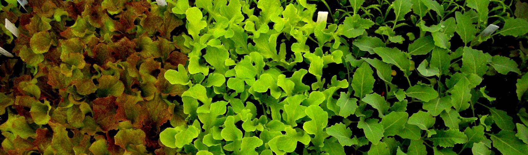 lettuce_slider
