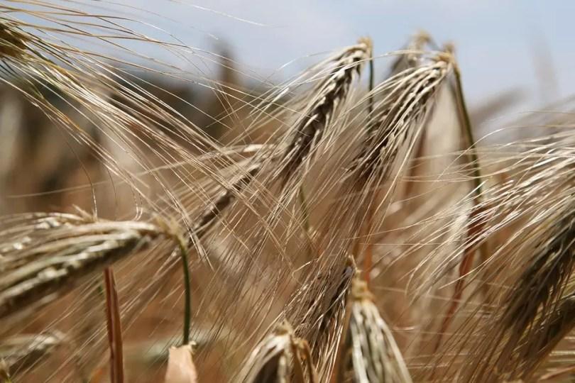 wheat-809441_960_720