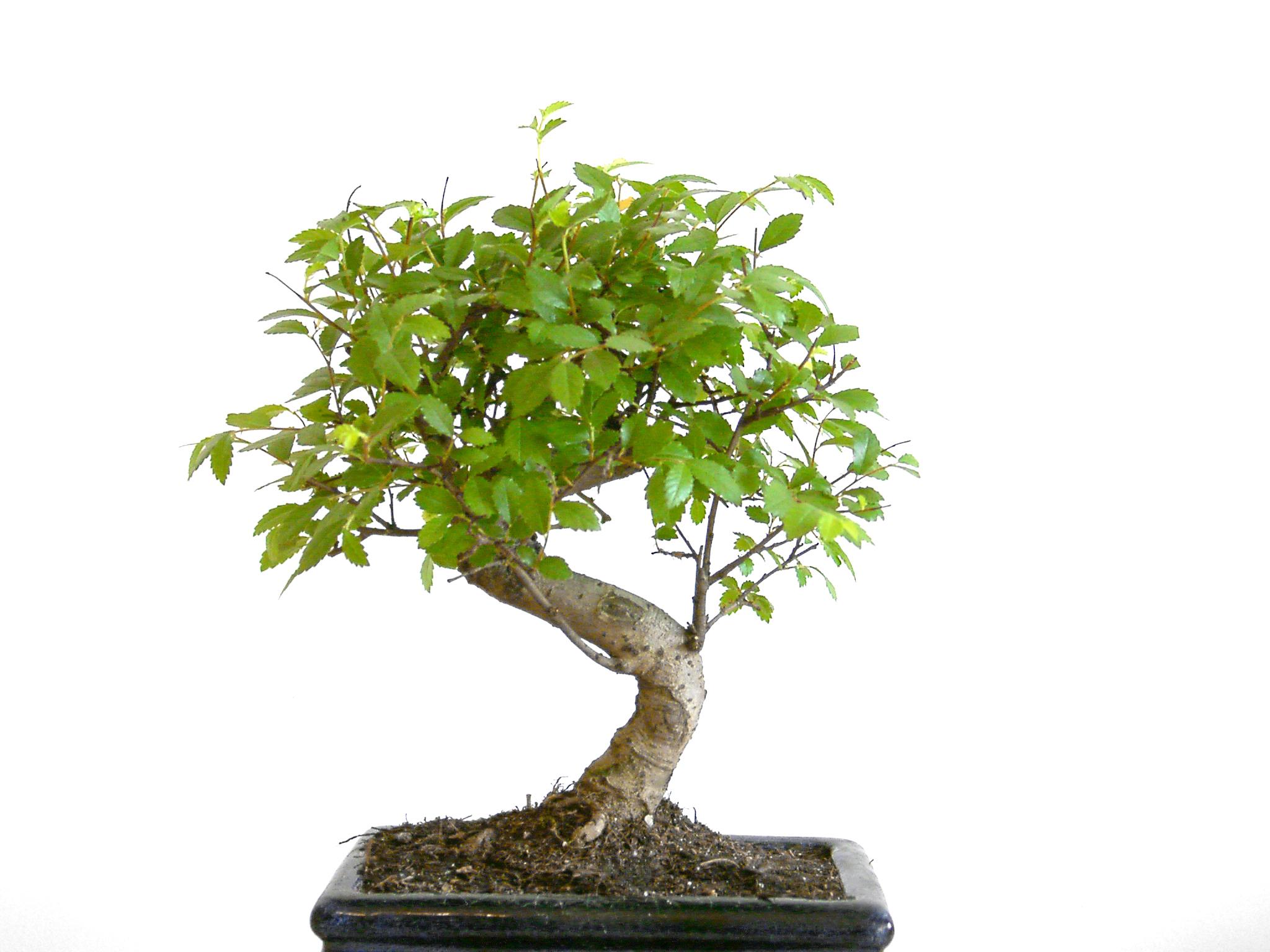 bonsai-tree.jpg