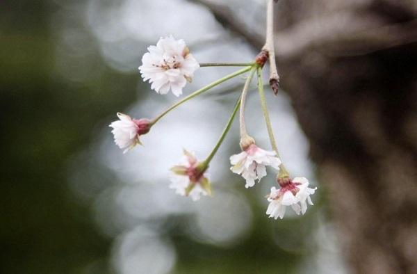 Hoa anh đào Nhật bất ngờ nở sớm