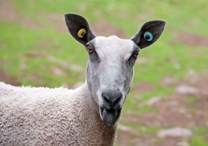 Bluefaced sheep showing tongue