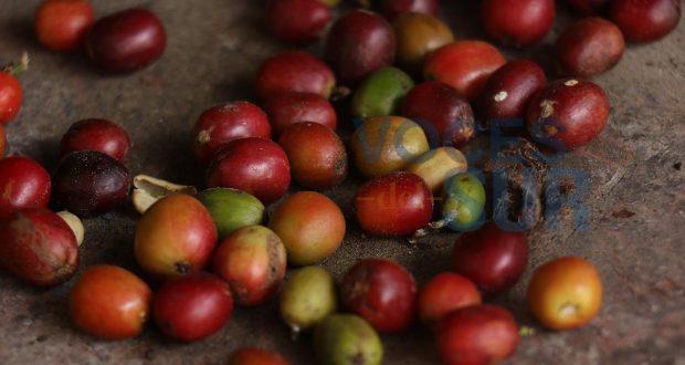 Estos granos de café se convertirán en un delicioso brebaje.