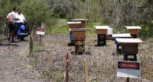 Colonias de abejas en la Reserva Nacional de Investigación Estuarina de Bahía de Jobos.