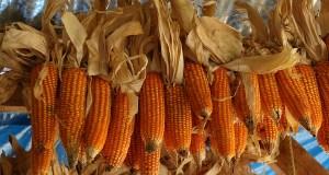 El maíz es un cereal que le da al ser humano altos contenidos de nutrientes. (Voces del Sur)
