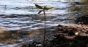 La Reserva Nacional de Investigación Estuarina de Bahía de Jobos posee diversidad de flora y fauna en la costa Sur de Puerto Rico. (Voces del Sur)