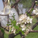 """All-natural fruit tree """"bait"""" for insects: it works!"""