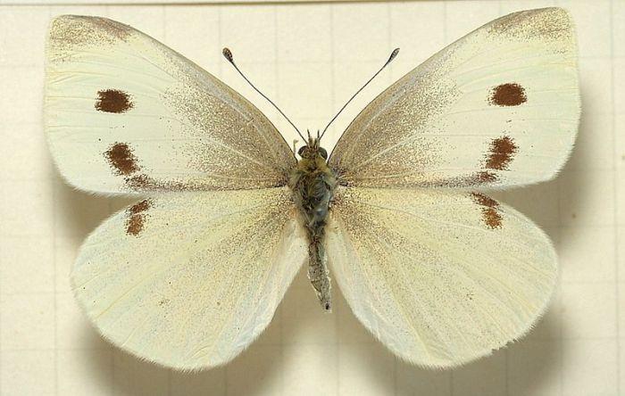 The Small White:  grrrr.  (Image thanks to Wikipedia.)