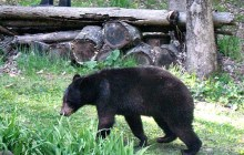 Shooting of hungry bear called sign of tough spring