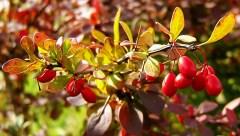 Japanese barberry (Berberis thunbergii)
