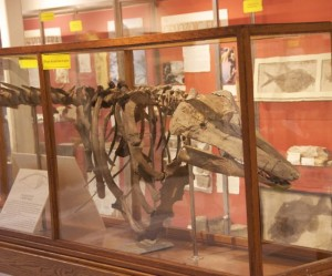 A view of the skeletal remains of the Charlotte Whale, the 11,000-year-old whale, whose discovery helped confirm the existence of the Champlain Sea. Photo by Dirk Van Susteren