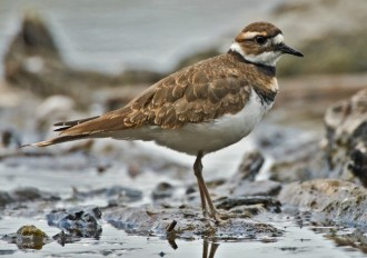 Killdeer. Wikimedia Commons photo by Alan D. Wilson