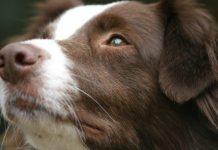 australian shepherd, aussie dog breed,