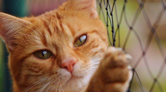 cat scratch disease,