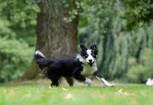 border collie, fastest dog breeds