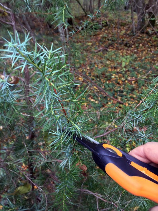 Here I'm taking some Juniperus communis cuttings in my local forest. Sourcing plants the cheap way.