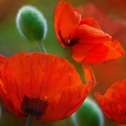 Lovely Red Color Flowers Attractive Wallpapers in High Definition