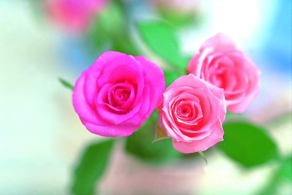 Pink rose images hd floweryred2 pink rose flower wallpapers wallpaper cave mightylinksfo