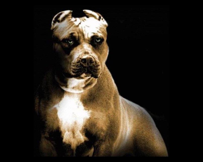 Pitbull Dog Wallpapers Wallpaper Cave