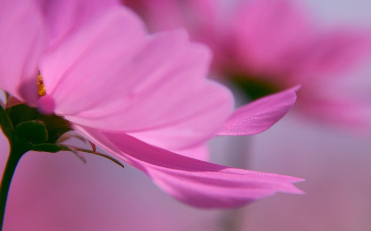 Lovely Pink Flower hd Widescreen Desktop Wallpaper ...