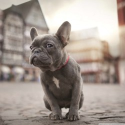 Small Crop Of Cute French Bulldog