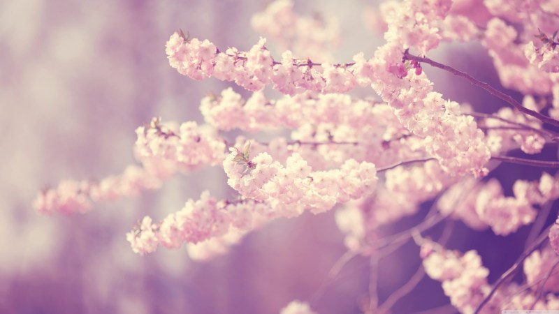 Large Of Cherry Blossom Wallpaper