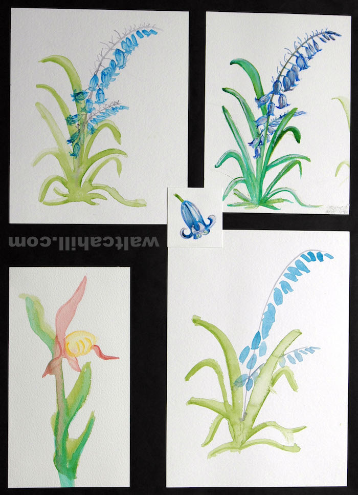 Water colour study of Bluebell and Orchid
