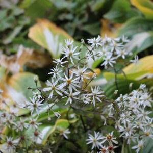 Vit skogsaster. Höjd 50 cm. Blomtid aug/sep-okt.