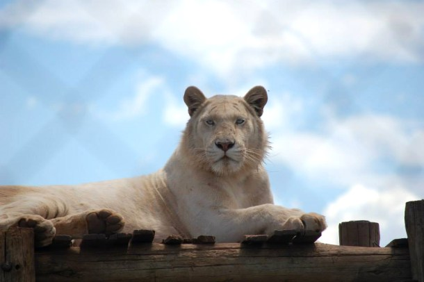 White tiger, South african animals