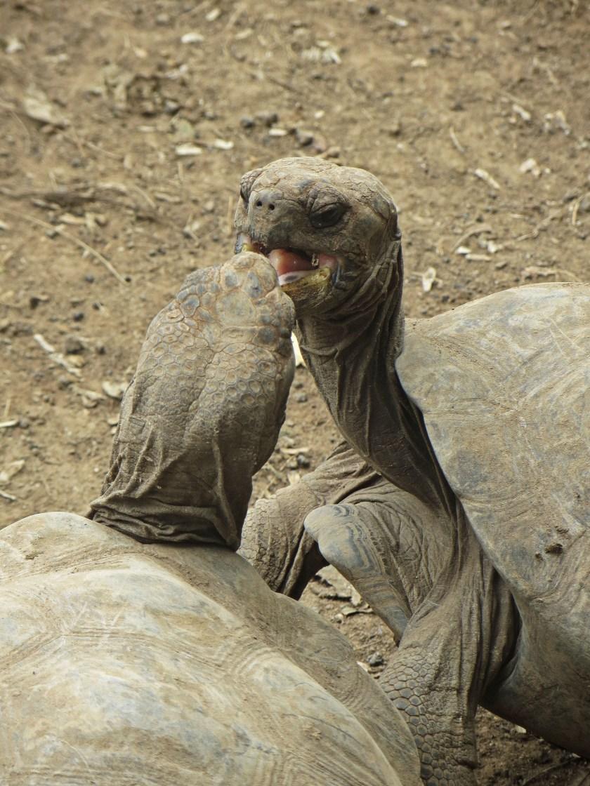 Tortoise fight