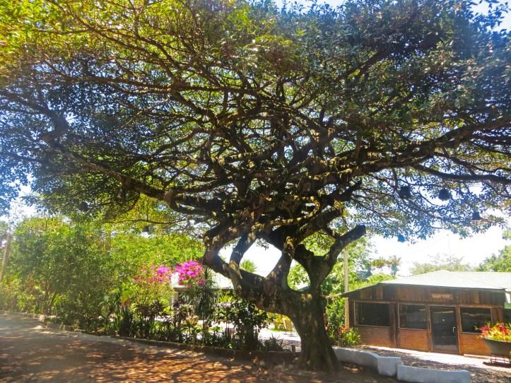 Trees of Central America. El Salvador.