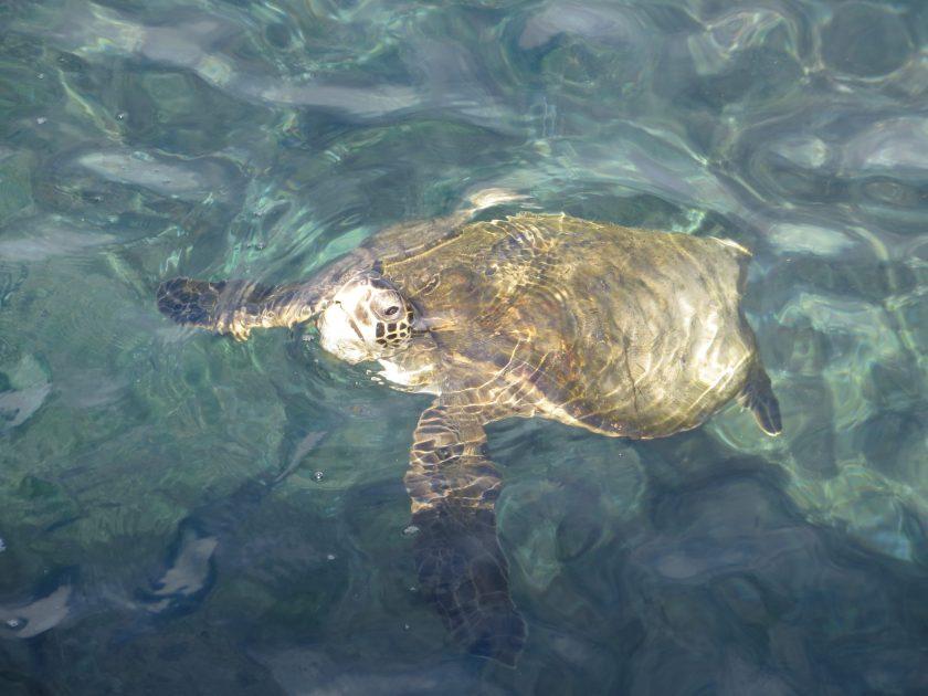 Turtle Galapagos TRLT