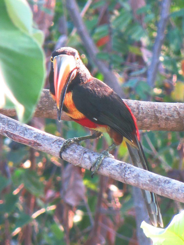 Toucan Costa Rica TRLT