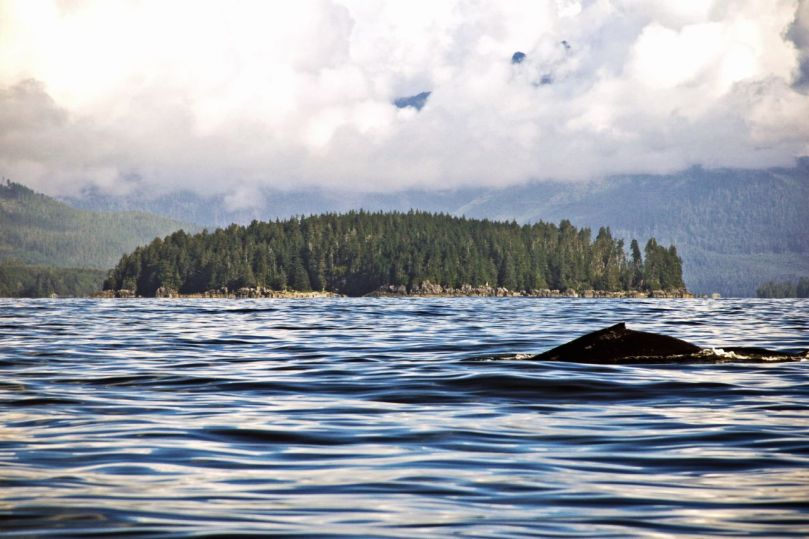 A humpback whale with Pacific Rim National Park Reserve in the background.
