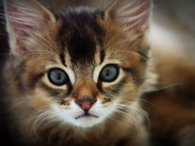 出典:Somali cat - Wikipedia, the free encyclopedia