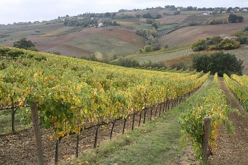 italy-vineyard-500