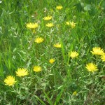 Hairy Golden Aster?